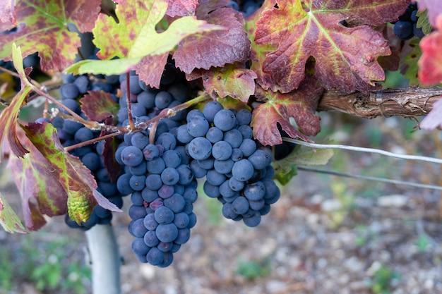 Крупным планом виноградная лоза в виноградниках шампанского на горе реймс, реймс, франция