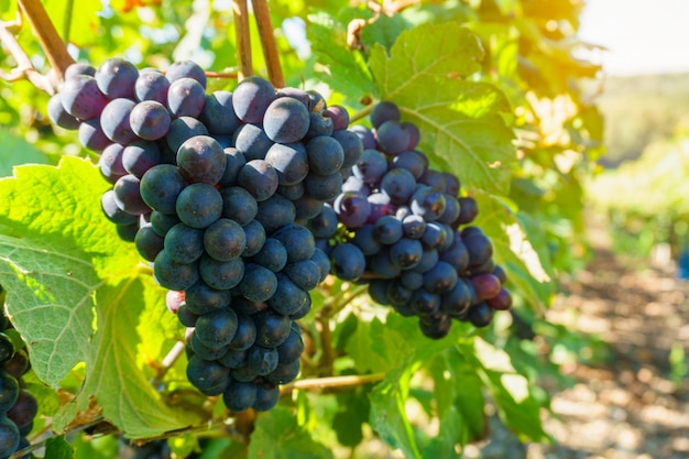 Close up vine grapes in champagne region in autumn harvest, reims, france