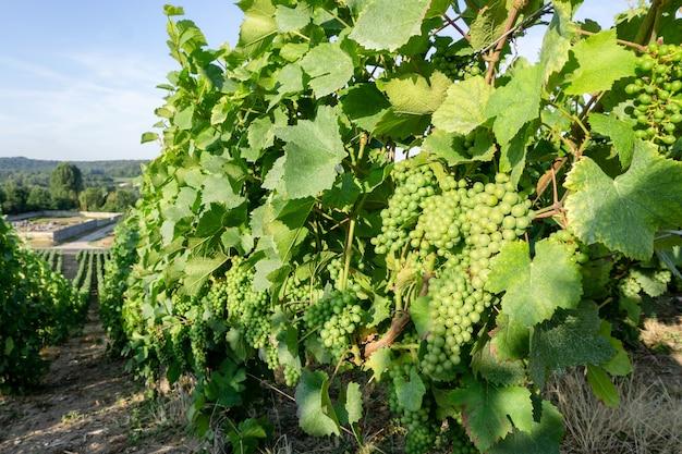 モンターニュ・ド・ランスの田園地帯の村の背景、ランス、フランスのシャンパンのブドウ園でブドウの緑のブドウをクローズアップ