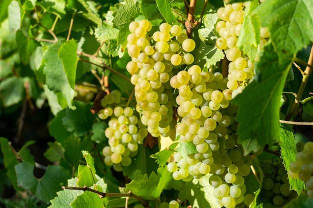 Закройте вверх по виноградной лозе зеленого винограда в виноградниках шампанского на горе реймс, реймс, франция