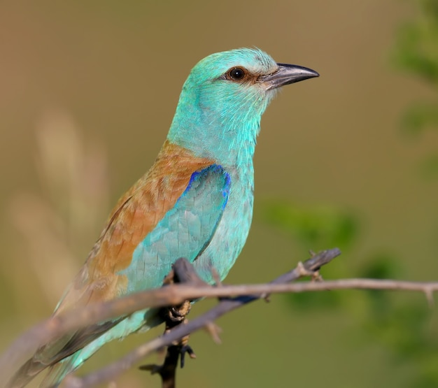 Close-up and vivid photos of the european roller (coracias garrulus) are sitting on a branch.