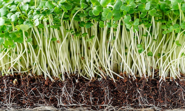 Close up wall of arugula microgreen sprouts with potted soil.