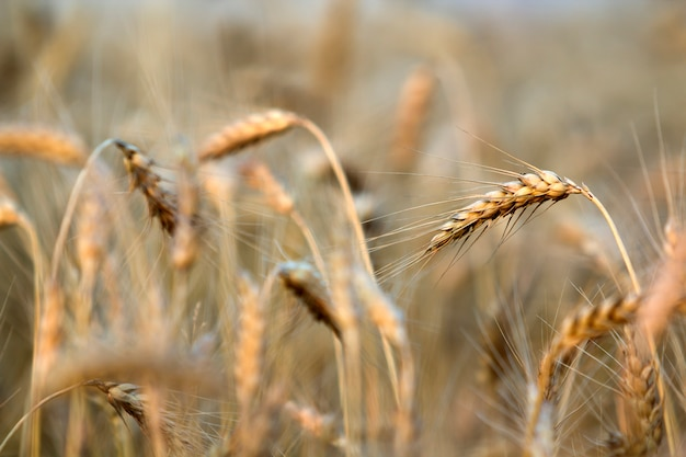 Close-up of warm colored golden yellow ripe focused wheat heads on sunny summer day on soft blurred foggy meadow wheat field light brown . agriculture, farming and rich harvest .