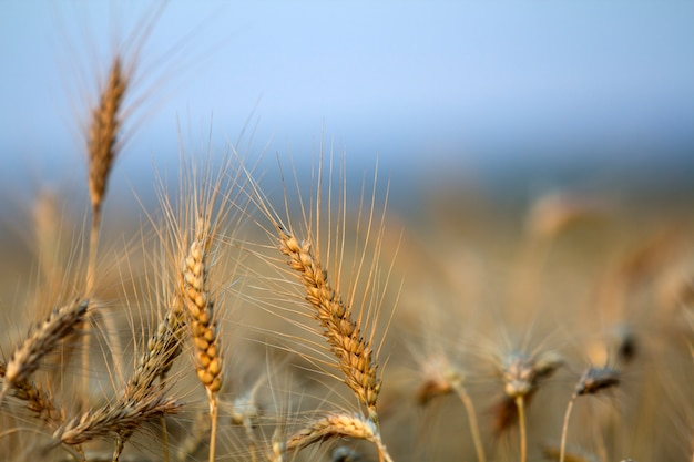 Close-up of warm colored golden yellow ripe focused wheat heads on sunny summer day