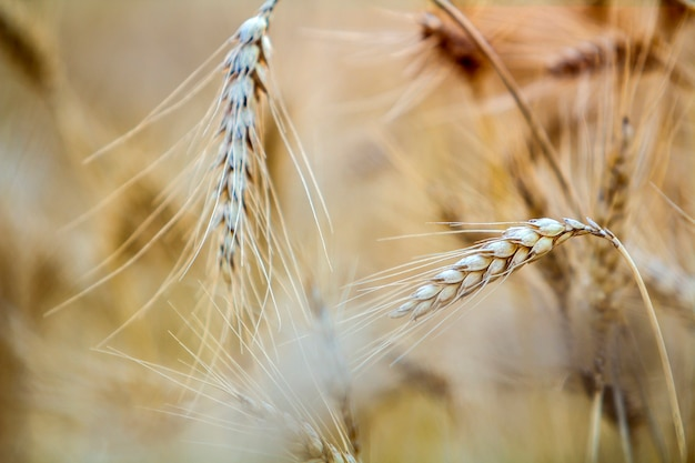 Close-up of warm colored golden yellow ripe focused wheat