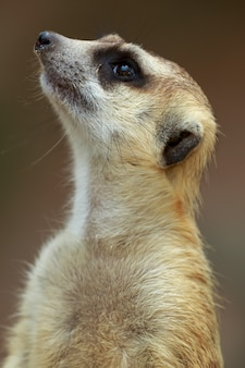 Close up on watchful meerkat stading guard