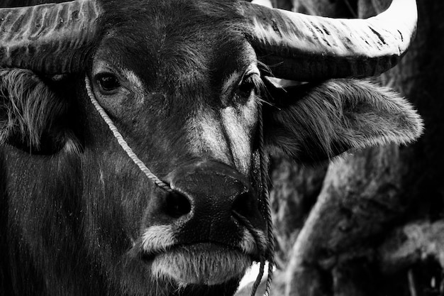 Close up of water buffalo portrait in black and white background.