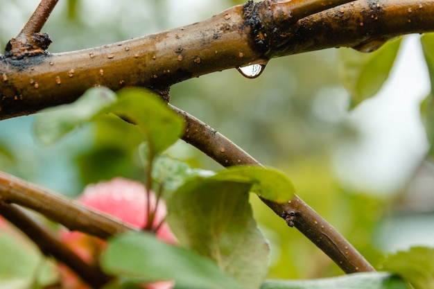 Close-up of water drop of apple tree branch in soft-focus in the background.