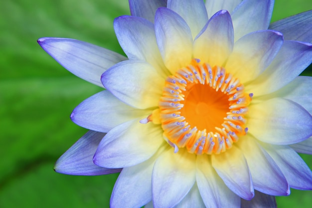 Close up of water-lily