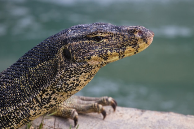 Close up water monitor lizard, varanus on green grass