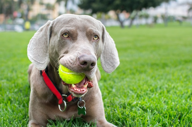 Close-up of a weimaraner dog with yellow ball in its mouth. eye contact.