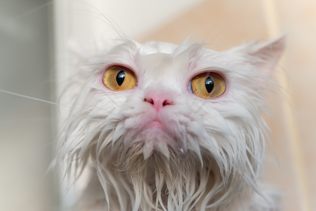 Close up wet persian cat eye after take a bath.