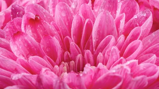 Petali rosa bagnati del primo piano