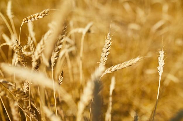 小麦の収穫、太陽の日、夏の小麦畑の背景をクローズアップ