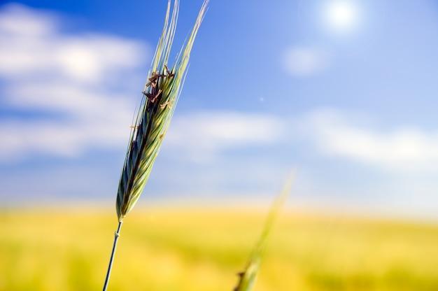 Close-up di grano con sfondo sfocato