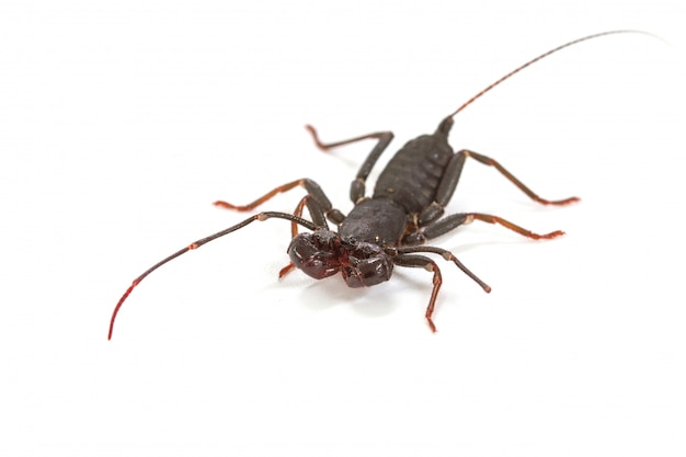 Close up of whip scorpion or vinegarroon (mastigoproctus giganteus) on white background