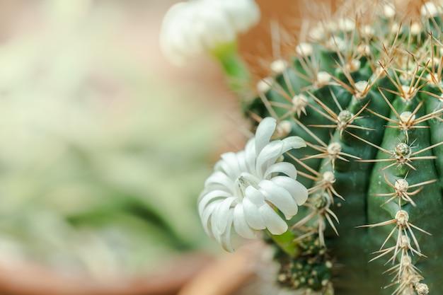 Крупным планом белый цветок кактуса, цветущий с теплым солнечным светом