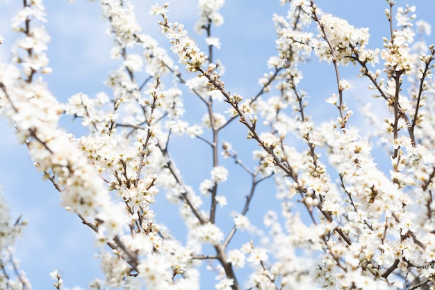 Close up of white cherry blossom tree on a blue sky background