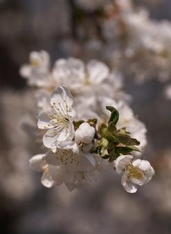 Крупным планом белое дерево сакуры весной