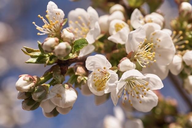 白い桜の木を閉じます。