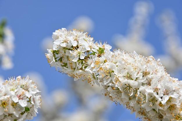맑고 푸른 하늘, 낮은 각도보기 위에 하얀 벚꽃 나무 꽃을 닫습니다