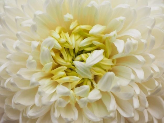 흰 국화 꽃을 닫습니다. 봄 배경에 대한 식물 패턴