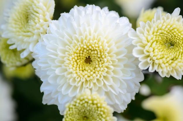 朝露に濡れた白い菊の花をクローズアップ