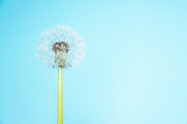 Close up of white dandelion on blue background with copy space for text. minimalism style