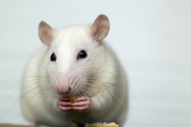 Close up of white domestic rat eating bread crums.