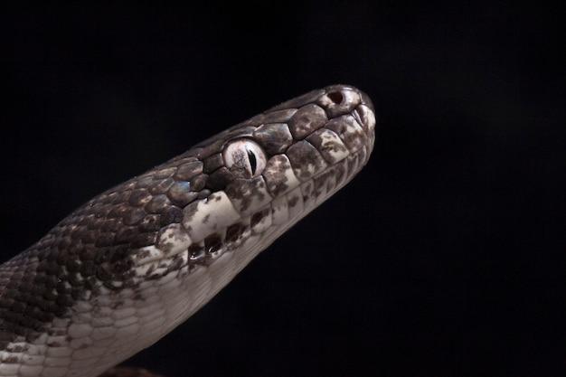 Close-up of white-eyed python