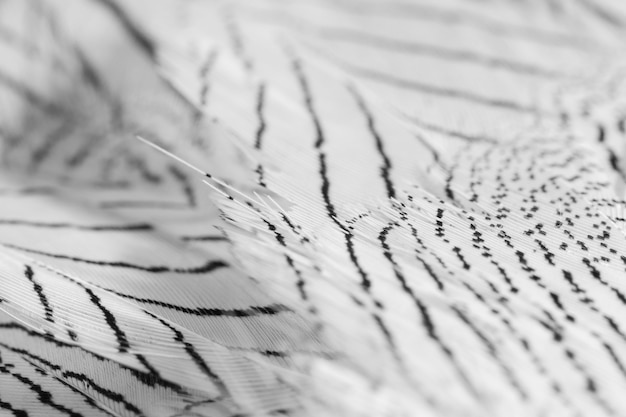 Close-up white feathers with dark lines