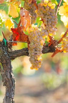 Close up of white grapes on the tuscany vineyard