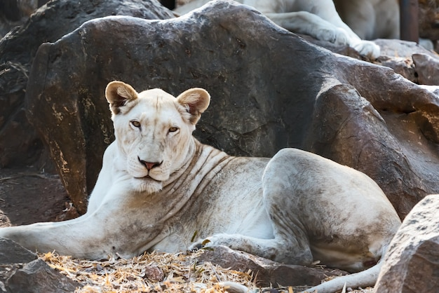 横になっているクローズアップの白いライオンは動物園でリラックスします。