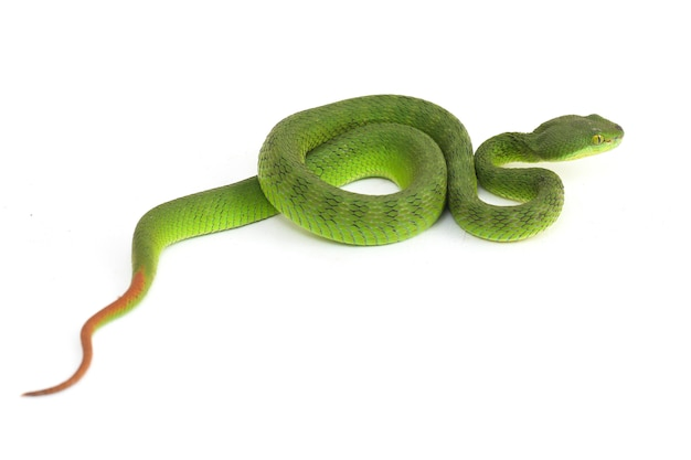 Close up white-lipped green pit viper snake isolated on white background
