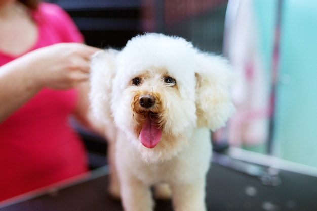 Close up of a white little cute dog being hairdresser by a young female hairdresser.
