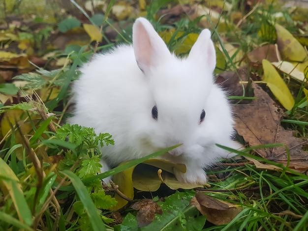 クローズアップ。草の上に座っている白い小さなウサギ。
