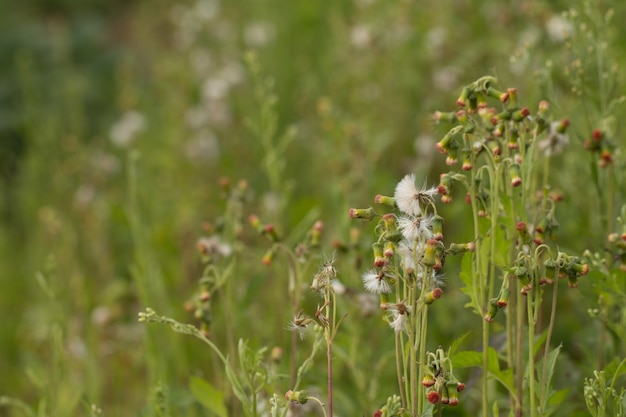 Close up of white meadow flowers in field or grass flower
