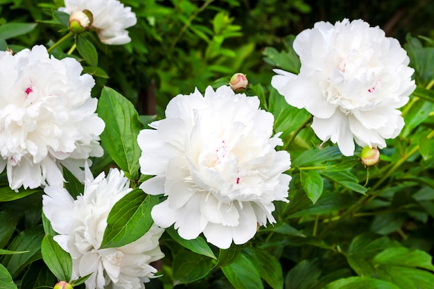 Close-up of white peony on green garden surface