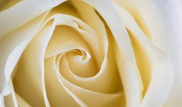 Close up of white rose petals. selective focus. flowers background