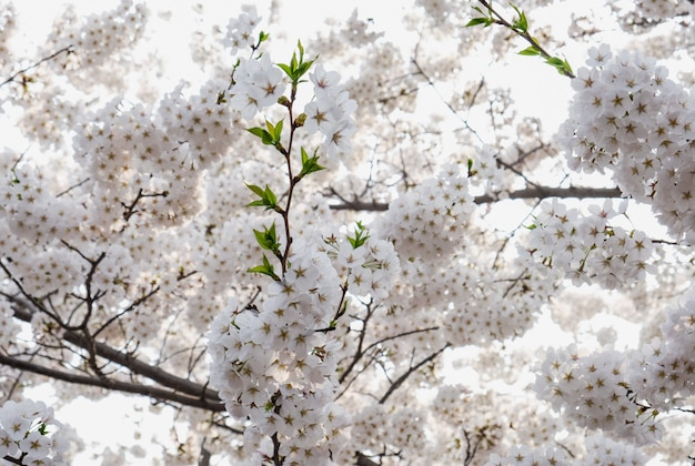 Close up white sakura flower blossom on tree in spring seasonal