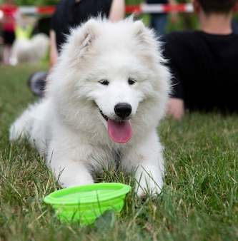 Close up on white samoyed dog on grass