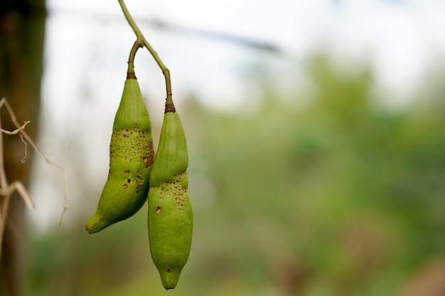 クローズアップの白い絹の綿の木またはセイバの木は、果物の中にふわふわの白いカポックがあり、枕や毛布を作るために使用される多くの種子があります。