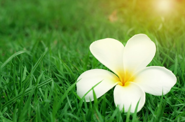 Close up of white yellow plumeria flower (frangipani) with sunlight on green grass