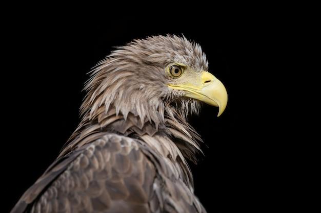 Close up whitetailed eagle portrait on black background
