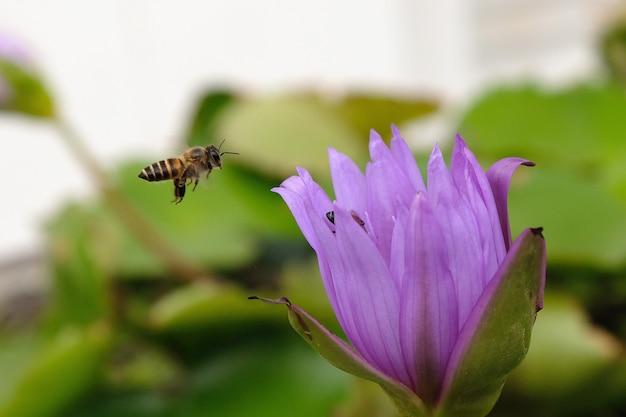 Close up of wild bee in mid-air next to lotus flower