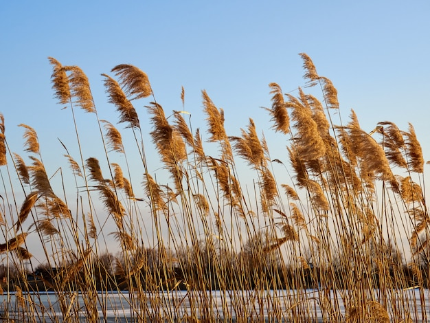 Close up winter reeds on the shore of a frozen river against the sky