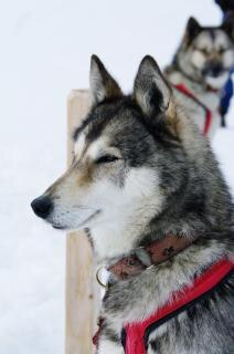 Close up with a grey husky