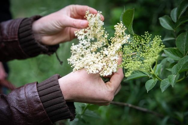 Закройте вверх по женской руке, собирая цветы космоса в саду.