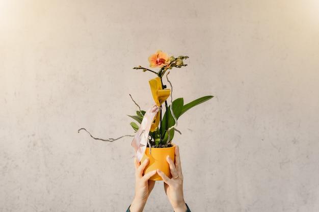 닫기 최대 여자 손 절연 노란색 화분 된 난초를 들고.