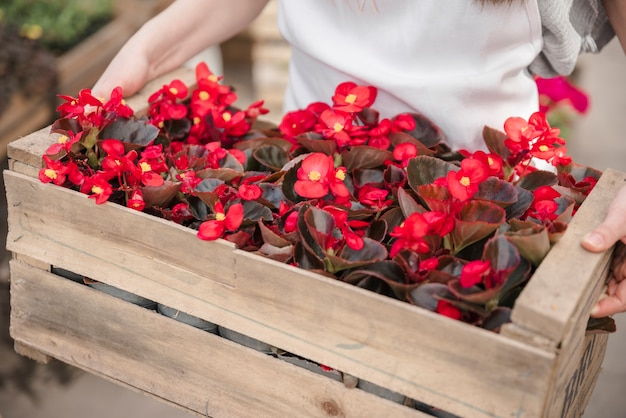 Close-up of a woman's hand holding wooden crate with red begonia flowers
